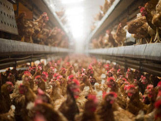Legehennen in Großbetrieben: dicht gedrängt auf engstem Raum. Experten fordern mehr Tierschutz. Julian Stratenschulte/Archiv Foto: Julian Stratenschulte