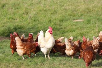 Gute Eier gibt es von glücklichen Hühnern