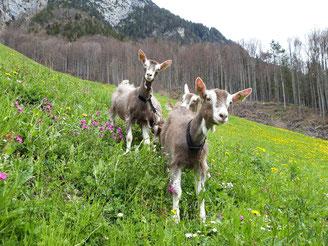 Ziegen-Kitzlein im Gras