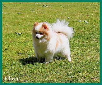 Pomeranian Hündin Eilleen von der Arnold's Eiche.