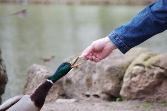 Die Fütterung von Wasservögeln kann zu Verhaltensänderungen, Krankheiten und Gewässerverschmutzung führen. Foto: Urgixgax/pixelio.de