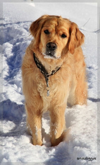 Roxy, unser wahrlich goldiger Goldie... - wenn er mal nicht grad Quatsch im Kopf hat ;-)
