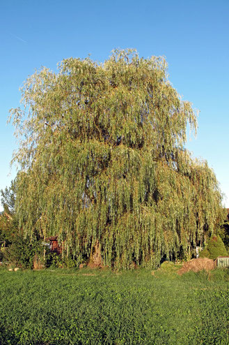 Baum, Trauerweide