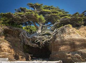 """Tree of Life"" in Olympic National Park, Washington"