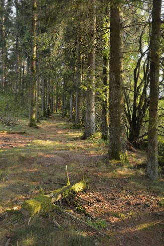 Forêt au Haut du Tôt (Vosges)