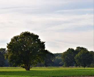 Kulturlandschaft mit großen Bäumen und safig grüner Weide