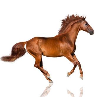 Pferd mit gepflegten Hufen auf weißem Hintergrund