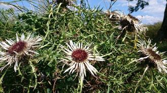 Magere Böden und Weidewirtschaft lassen auf sonnigen Hängen nur die Silberdisteln gedeilich wachsen