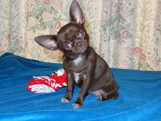 Chiot chihuahua de Grisous'Tiny World