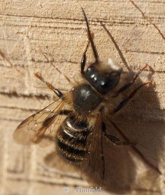 Mauerbiene - Männchen beim morgendlichen Aufwärmen