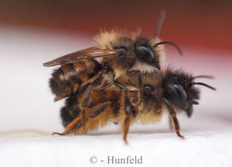 Mauerbienen - kurz vor der Paarung