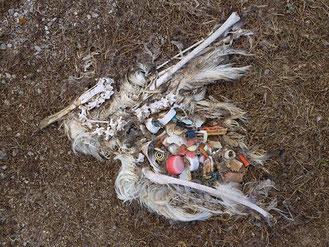 albatros mort asphyxié par les déchets plastiques photo Chris Jordan