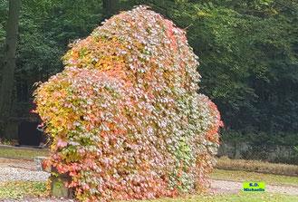 Wilder Wein im Herbst mit goldenen, roten und ein paar grünen Blättern, der eine ganze Mauer verschönert von K.D. Michaelis