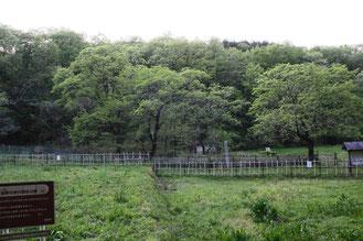 ヒトツバタゴ (一つ葉タゴ) モクセイ科 ヒトツバタゴ属