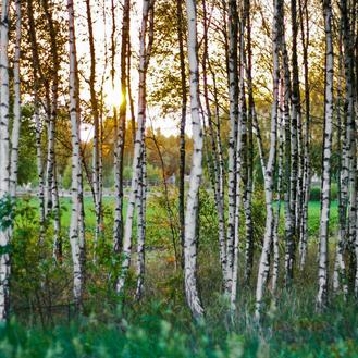 Birkenbäume im Sonnenlicht.
