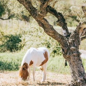 Pony unter Olivenbaum