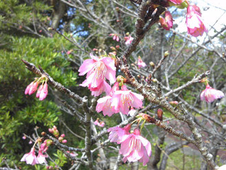 ひとつまたひとつと咲き始めたカンヒザクラ