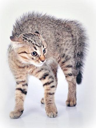 Katzen mit hochgestellten Haaren, Bildquelle: canstockphoto 15141854, (c) Cerrymerry