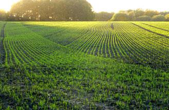 Frische Saat auf Lotzdorfer Flur