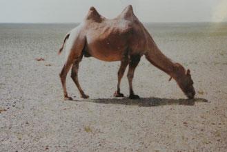 草をはむゴビ砂漠のラクダ(1985年7月ウウヌゴビ県)