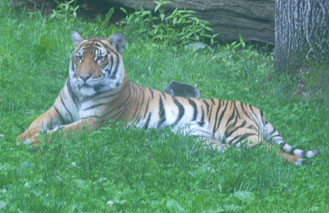 You've got a date with a Tiger at the Bronx Zoo