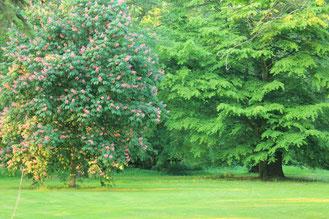Ein blühender Kastanienbaum und eine Buche des Parks im Herrenhaus.