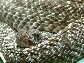 Uracoan - Klapperschlange