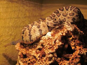 Niederkalifornische Klapperschlange