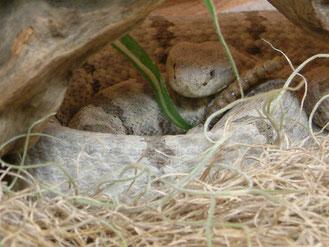 Felsenklapperschlange im Versteck