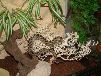 Lanzenkopf - Klapperschlange