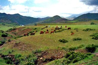 Kühe bedienten sich auf den noch mageren Weiden