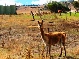 die Alpaka-Wolle wird in Südamerika als Vlies der Götter verehrt