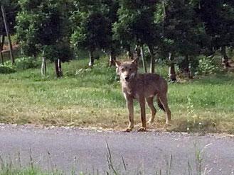 Ein Wolf. Foto: Forstliche Versuchs- und Forschungsanstalt Baden-Württemberg/Archiv