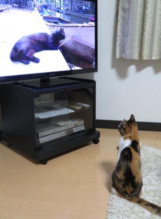 テレビ鑑賞中のミミ