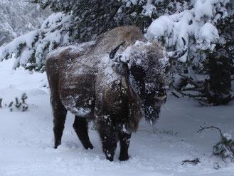 bison d'europe, margeride