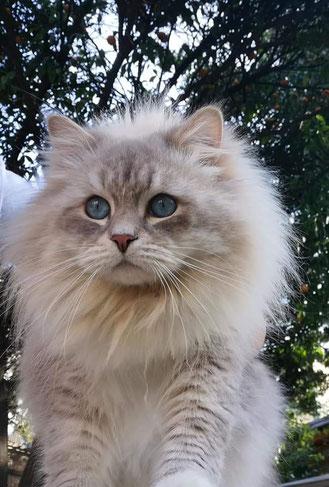 gatti siberiani, allevamento, gatti, cuccioli, siberiani, siberiano, ipoallergenico, seal silver, red tabby point, black tabby, golden , allergia, gatto ipoallergenico, feld1
