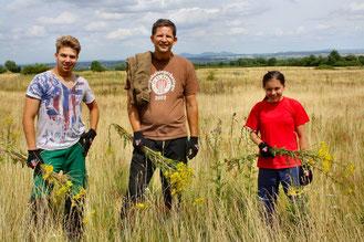 Schön gelb aber giftig, das Jakobskreuzkraut: Mitarbeiter der Biol. Station auf der Fläche bei Ersdorf. Im Hintergrund: das ferne Siebengebirge (Bild: K. Weddeling)