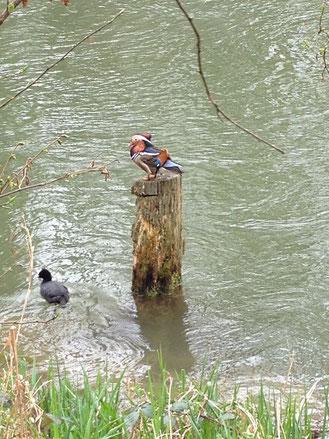 Die Mongo-Ente - auch bekannt als Mandarin-Ente