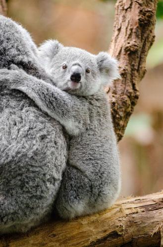 Foto: Koala-Baby
