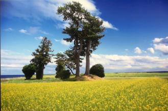 写真家 佐々木昇悦氏作品・末の松山と菜の花のコラボ
