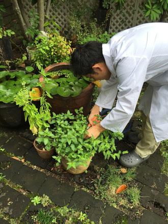 ミントティーを作る為、ミントを収穫するガーデンドクター柴ちゃん。