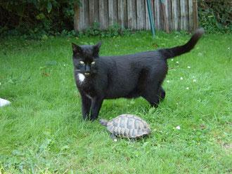 Foto zeigt einen schwarzen Kater und eine griechische Landschildkröte zusammen auf einer Rasenfläche.