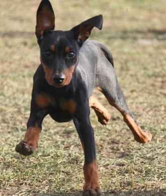 """Black-Bonita vom Sylbachtal (Bonny) 16 Wochen alt, und voll in """"action"""""""