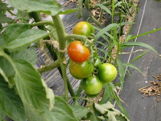 今年のトマトは、アイコ・イエローアイコ・イタリアントマト・レッドオーレです!