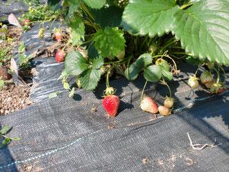 イチゴの栽培2019年春 はこちらからどうぞ