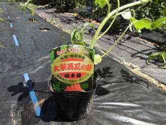 大栄西瓜の栽培!