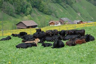 Unser Herde im Frühjahr, friedlich auf der Weide