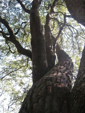 Le pin et le chêne entrelacés au bois de la Chaise -