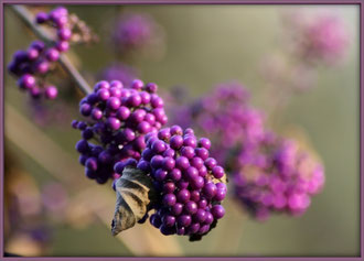 Der Liebesperlenstrauch trägt  lilafarbene Früchte im Herbst