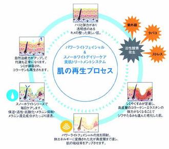 肌の再生プロセス